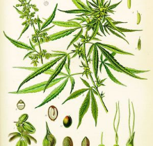 The Amazing healing potentials and parallels of CBD and Chinese medicine